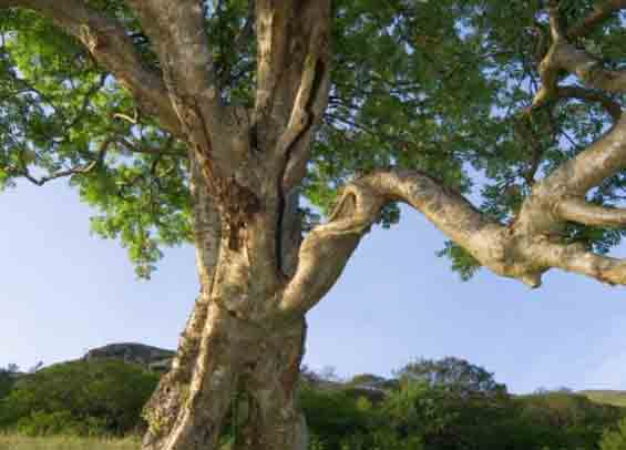 Copacul Urât